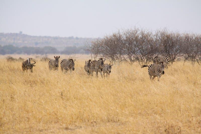 Rebanho da zebra fotografia de stock royalty free