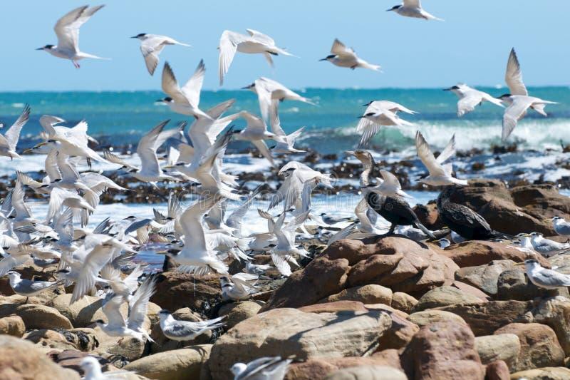 Rebanho das andorinhas-do-mar foto de stock royalty free