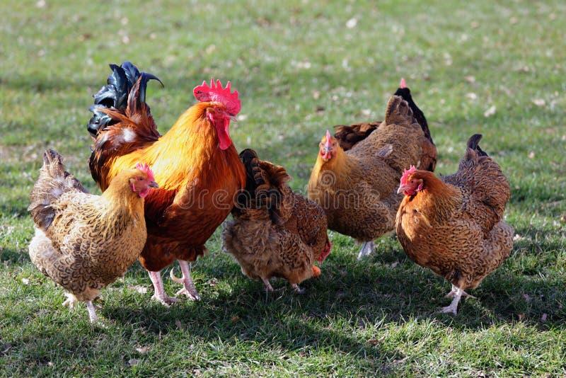Rebanho das aves domésticas foto de stock royalty free