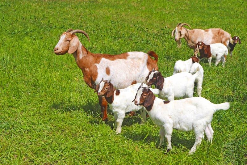 Rebanho das cabras com muitas cabras da criança fotografia de stock royalty free