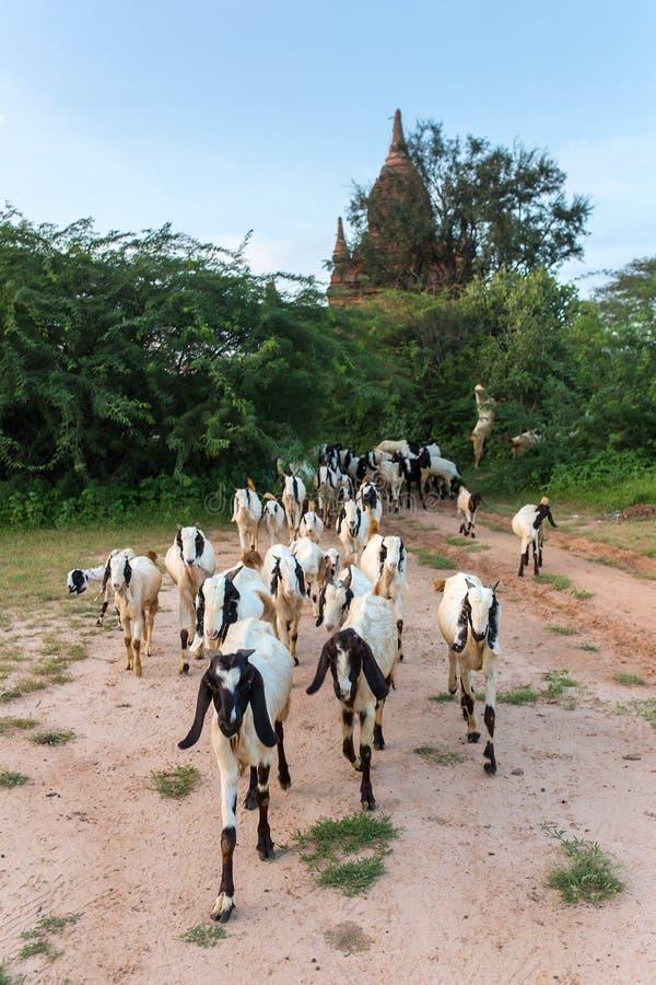 Rebanho das cabras que pastam perto dos stupas e dos templos antigos em Bagan imagem de stock royalty free
