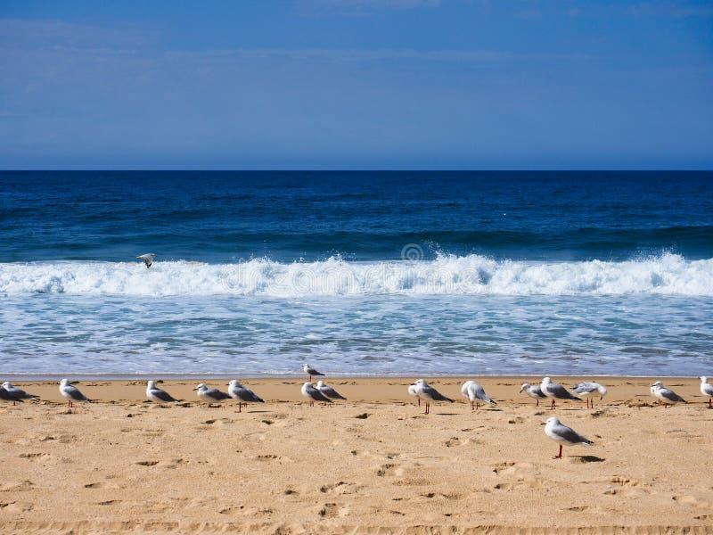 Rebanho das gaivotas que estão na praia amarela do Oceano Pacífico da areia, Austrália foto de stock
