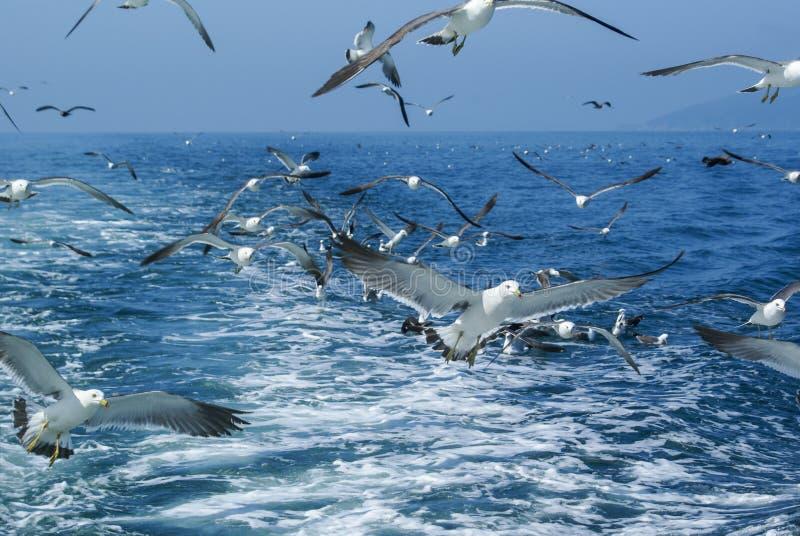 Rebanho das gaivotas que voam sobre o mar atrás do navio fotografia de stock royalty free