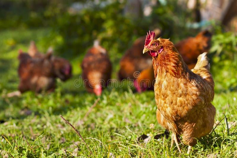 Rebanho das galinhas fotos de stock royalty free