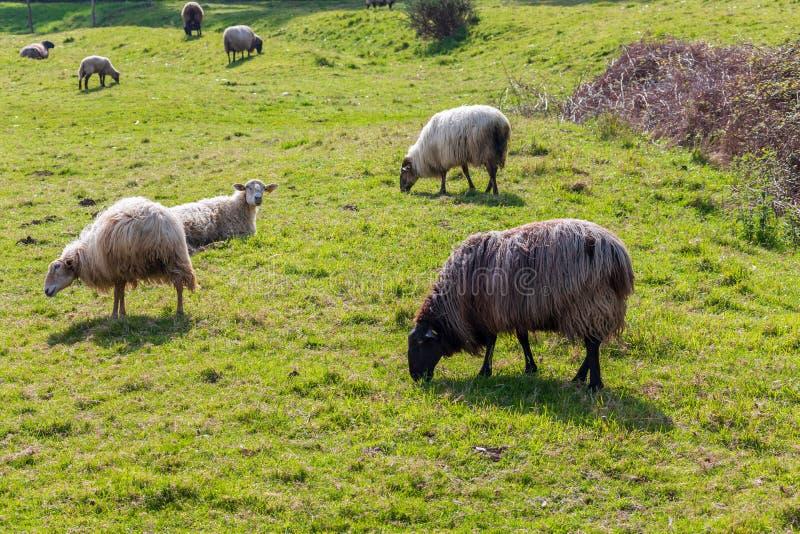 Rebanho das lãs claras dos carneiros de cabelos compridos da cor branca, pastando no prado verde imagens de stock royalty free