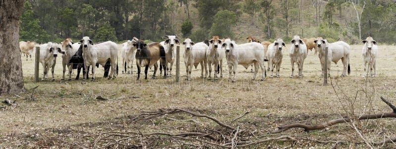 Rebanho das vacas fotografia de stock royalty free