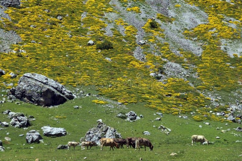 Rebanho das vacas em montanhas de Pyrenees fotos de stock royalty free