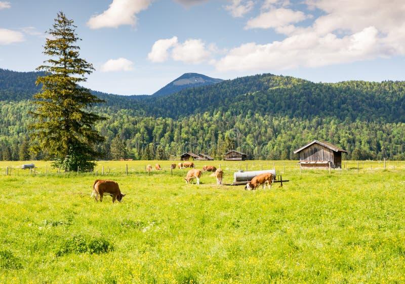 Rebanho das vacas em um pasto em Baviera foto de stock royalty free
