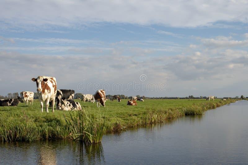 Rebanho das vacas no banco de uma angra, em uma paisagem típica da Holanda, da terra lisa e da água imagens de stock royalty free