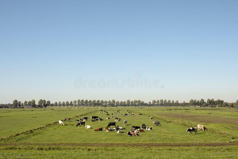Rebanho das vacas que encontram-se para baixo em um prado na paisagem holandesa lisa foto de stock