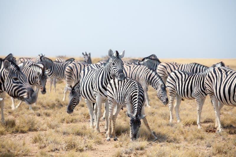 Rebanho das zebras bonitas que pastam no savana no fim do fundo do céu azul acima, safari no parque nacional de Etosha, Namíbia imagem de stock