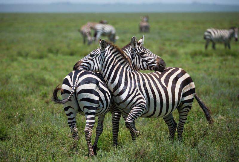 Rebanho das zebras no savana africano foto de stock