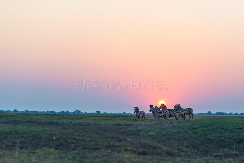 Rebanho das zebras que andam no arbusto no luminoso no por do sol Luz solar colorida cênico no horizonte Safari dos animais selva imagem de stock