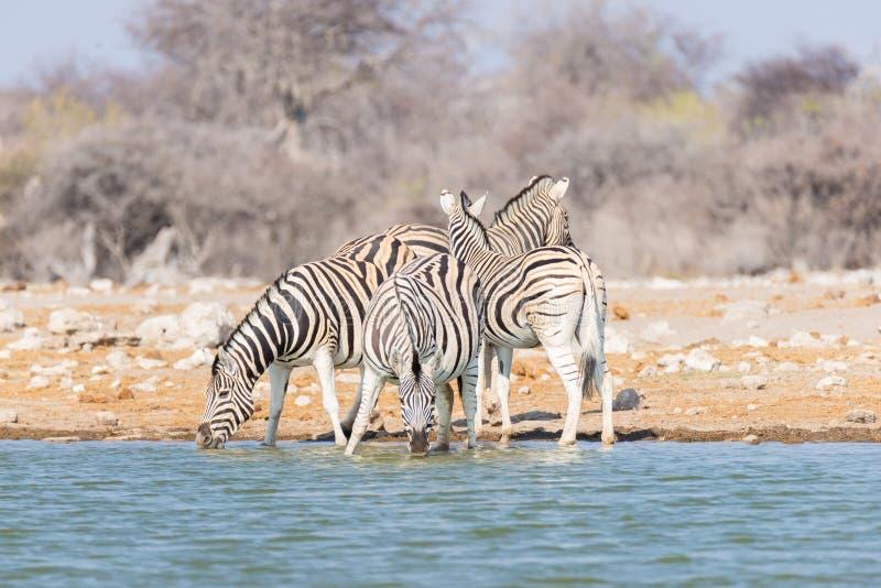 Rebanho das zebras que bebem do waterhole Safari no parque nacional de Etosha, destino majestoso dos animais selvagens do curso e imagens de stock