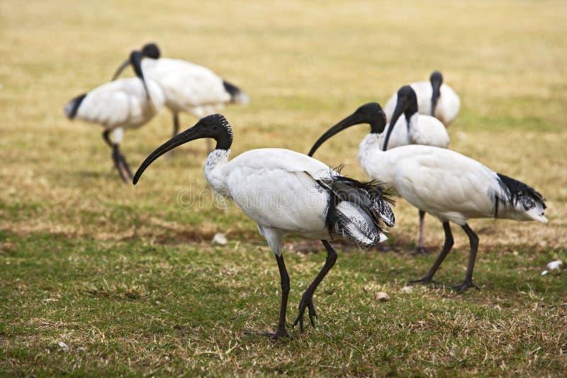 Rebanho de íbis brancos australianos fotos de stock