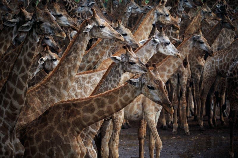 Rebanho de Abstrack do girafa em selvagem fotos de stock