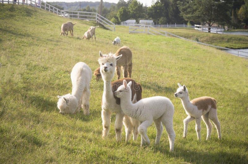 Rebanho de animais da alpaca fotos de stock royalty free