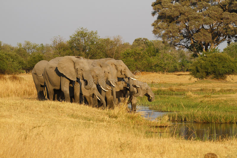 Rebanho de beber dos elefantes africanos fotos de stock