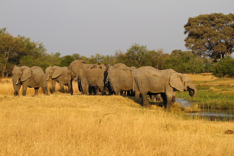 Rebanho de beber dos elefantes africanos fotografia de stock royalty free