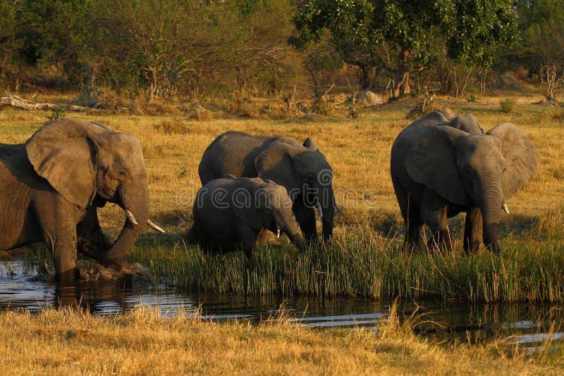 Rebanho de beber dos elefantes africanos fotografia de stock