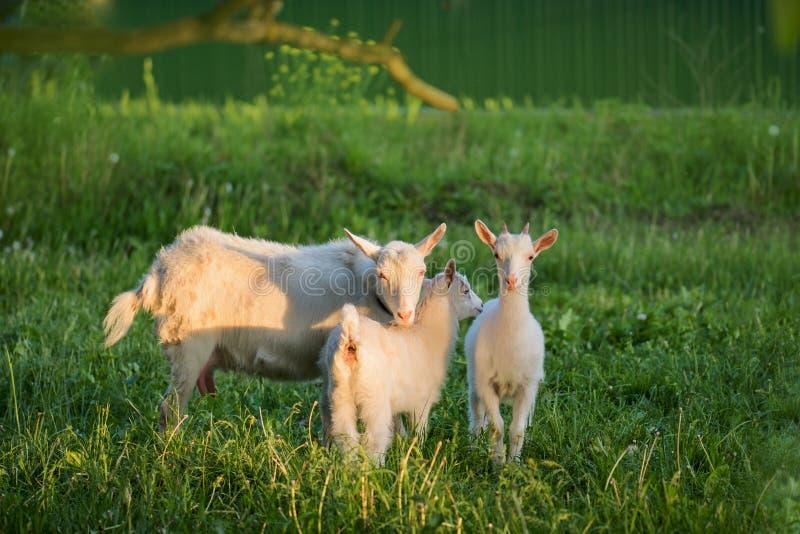 Rebanho de cabras da exploração agrícola Cabra branca com crianças imagem de stock royalty free