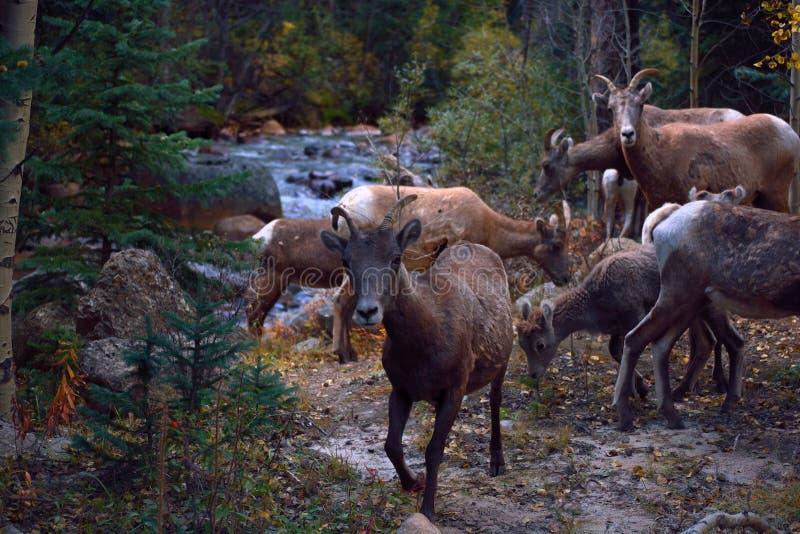 Rebanho de cabras de montanha por um rio fotos de stock royalty free