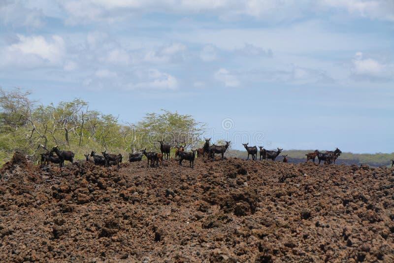 Rebanho de cabras ferozes fotos de stock royalty free