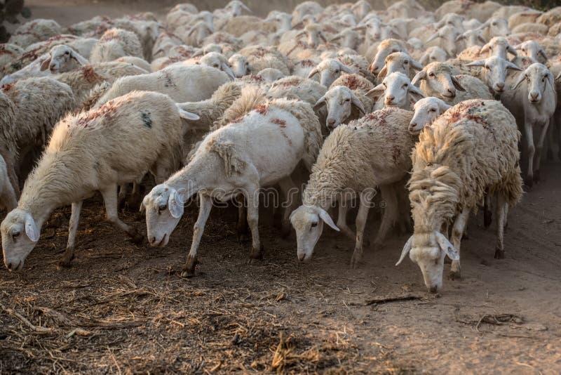 Rebanho de carneiros olhar fixamente fotos de stock