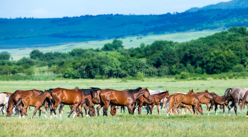 Rebanho de cavalos árabes no pasto fotos de stock