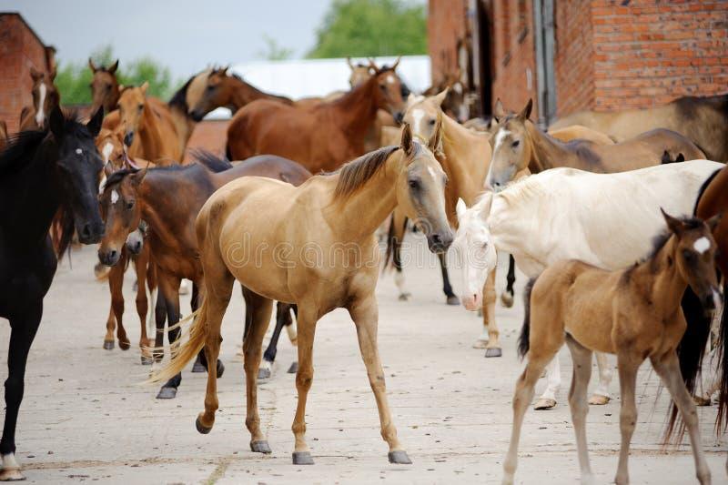 Rebanho de cavalos do akhal-teke perto do estábulo fotografia de stock