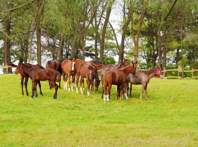 Rebanho de cavalos novos fotografia de stock royalty free