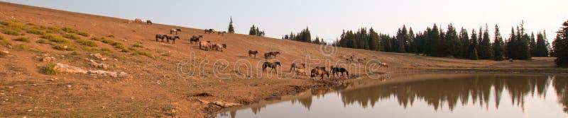 Rebanho de cavalos selvagens no waterhole no amanhecer na escala do cavalo selvagem das montanhas de Pryor em Montana EUA fotos de stock