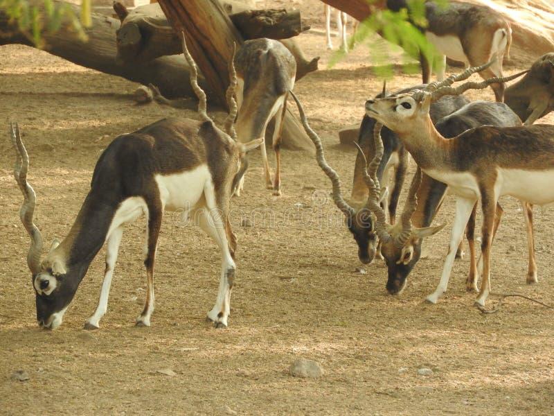 Rebanho de cervos fotos de stock royalty free