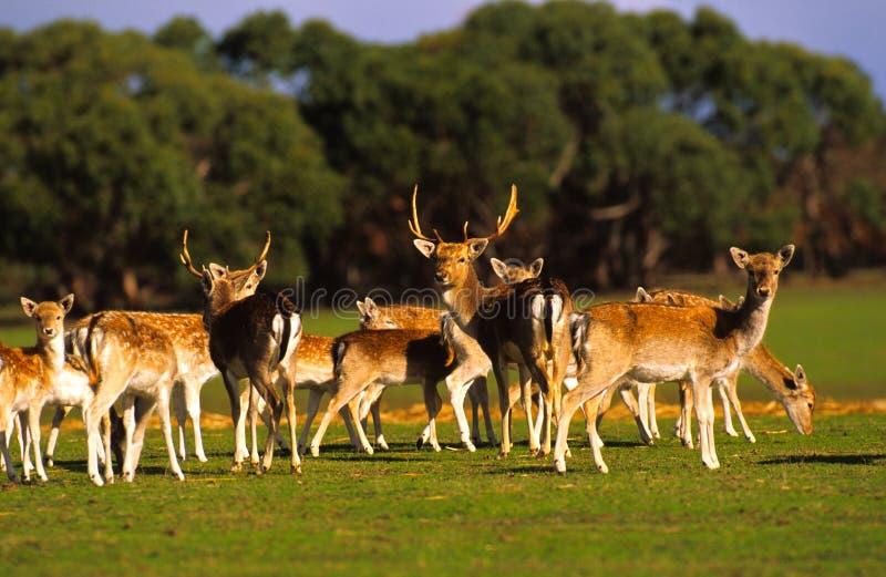Rebanho de cervos da linha central imagens de stock royalty free
