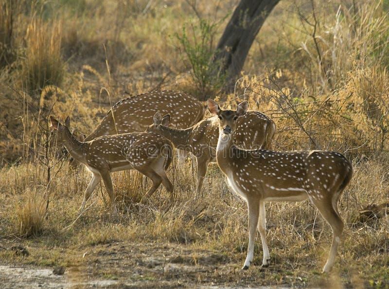Rebanho de cervos manchados indianos imagens de stock