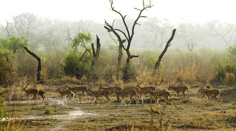 Rebanho de cervos manchados indianos imagens de stock royalty free