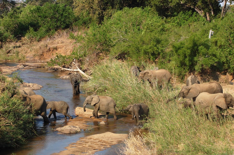 Rebanho de elefantes africanos imagens de stock