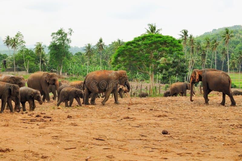 Rebanho de elefantes asiáticos. Pinnawela. Sri Lanka. fotografia de stock