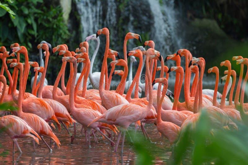 Rebanho de flamingos cor-de-rosa imagens de stock