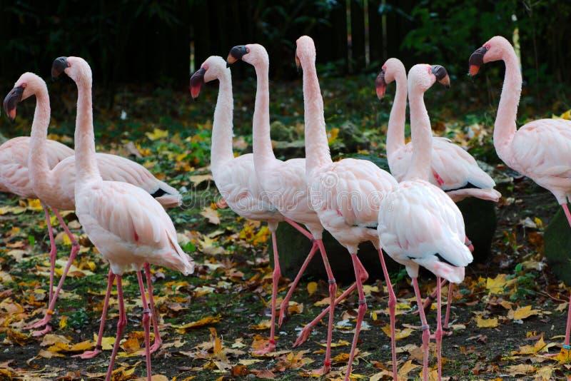 Rebanho de flamingos cor-de-rosa fotos de stock