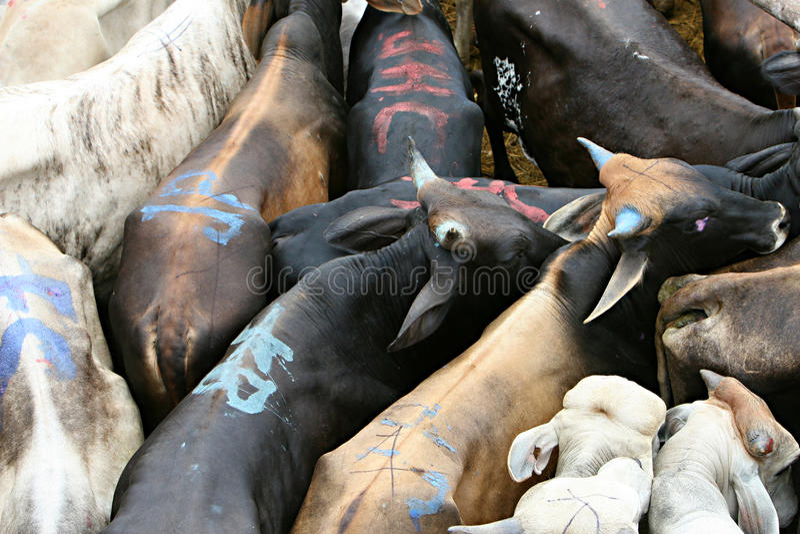 Rebanho de gado foto de stock