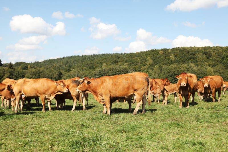 Rebanho de gados bovinos de Limousin fotografia de stock royalty free