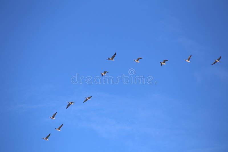 Rebanho de gansos de peito branco fotografia de stock royalty free