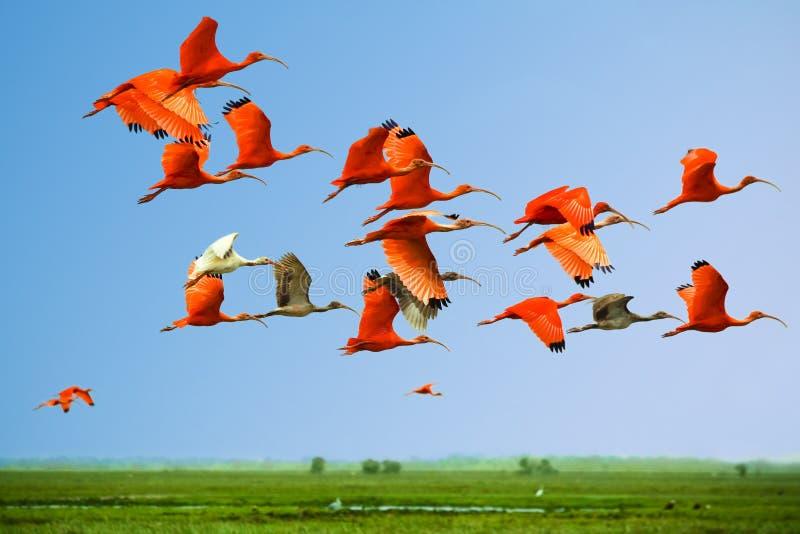 Rebanho de ibises de escarlate e de branco no vôo imagem de stock