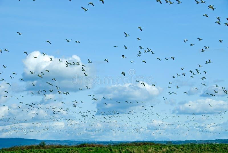 Rebanho de migração dos gansos de neve imagens de stock royalty free
