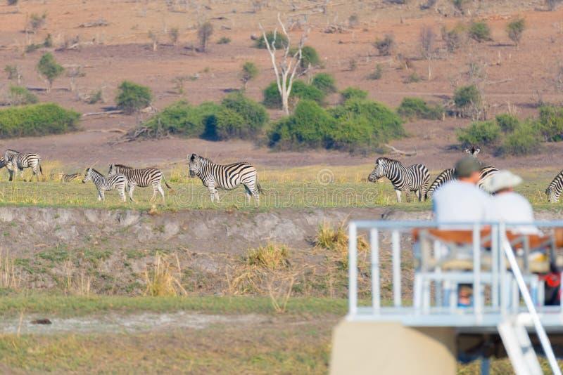 Rebanho de observação do turista das zebras que pastam no arbusto Cruzeiro do barco e safari dos animais selvagens beira no rio d imagens de stock royalty free
