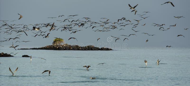 Rebanho de peitos pagados azuis Dive For Fish At Sundown imagem de stock royalty free