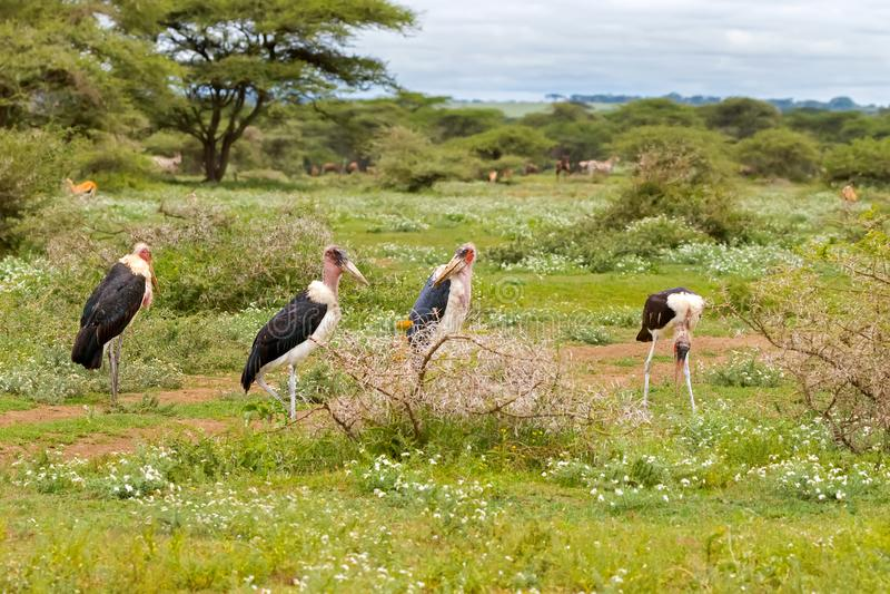 Rebanho de posição calva do pássaro da cegonha de marabu no prado no parque nacional de Serengeti em Tanzânia, África imagem de stock royalty free