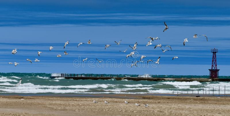 Rebanho de Ring Billed Gulls foto de stock