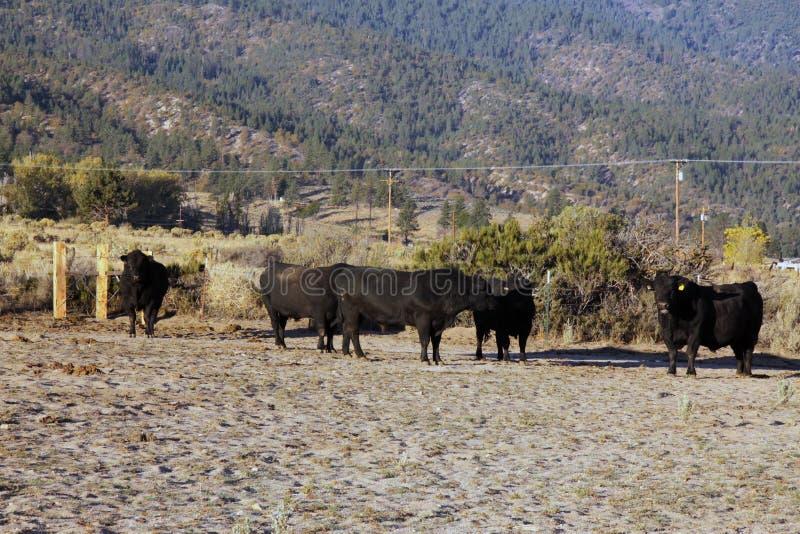 Rebanho de touros pretos de angus imagem de stock